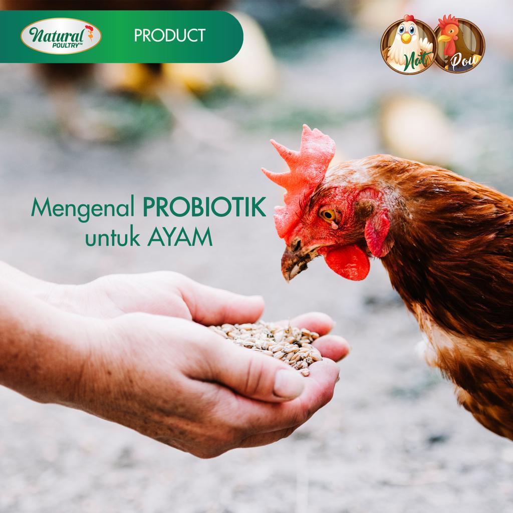 mengenal probiotik untuk ayam