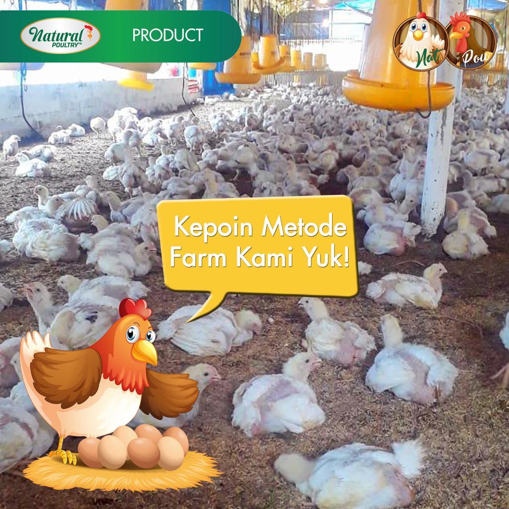 metode ternak ayam natural poultry